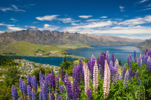 Lupins, Skyline view of Queenstown, South Island, New Zealand - stock photo, canvas, fine art print